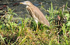 egret(0.0), wetland(1.0), animal(1.0), nature(1.0), fauna(1.0), green heron(1.0), pelecaniformes(1.0), beak(1.0), bird(1.0), wildlife(1.0),