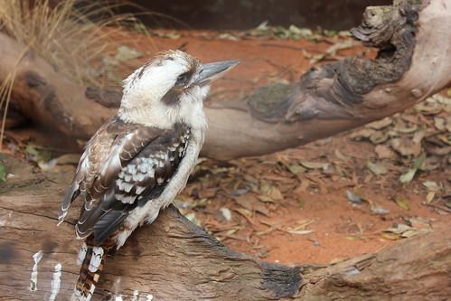 Kookaburra, Wild Life Sydney Zoo, Darling Harbour, Sydney