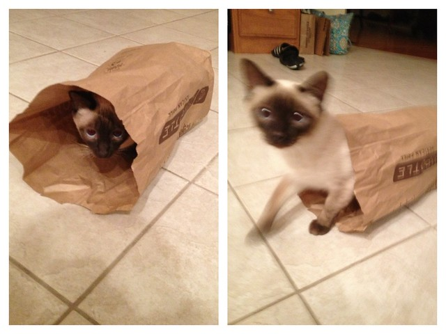 Fun in a Chipotle Bag #siamese