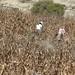 Harvesting the corn - Cosechando el maíz; cerca de San Juan Diuxi, Región Mixteca, Oaxaca, Mexico por Lon&Queta