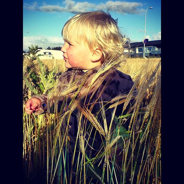 Fineste Olli i kornåkeren #myboy #åker #korn #snarthøst
