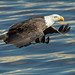 Bald Eagle in Flight by w4nd3rl0st (InspiredinDesMoines)