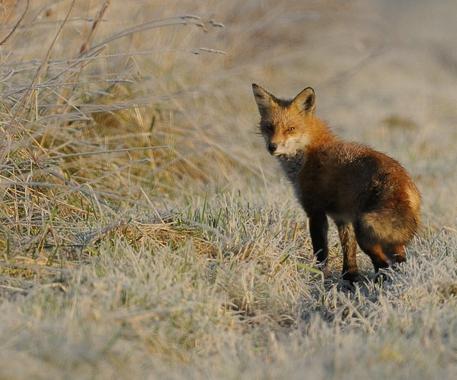 Red Fox on Frosty Morning