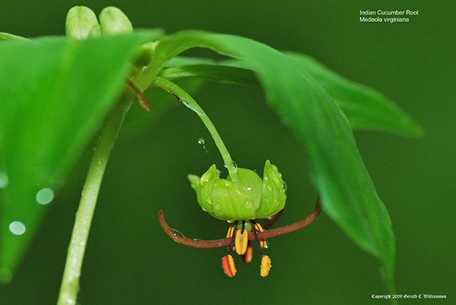 Indian Cucumber Root - Medeola virginiana by USWildflowers, on Flickr