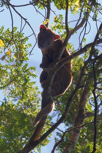 famed fossa, Madagascar
