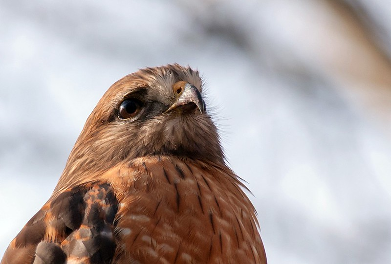 Red Shouldered Hawk Portrait