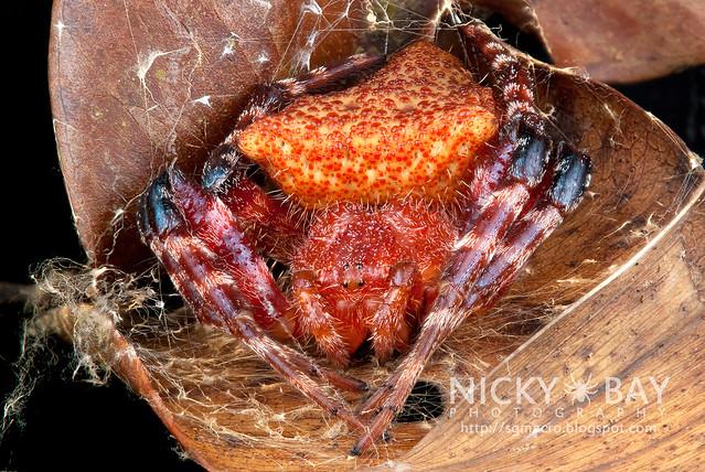 Red Tent Spider (Cyrtophora unicolor) - DSC_3024