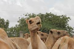 Camel Market (56)