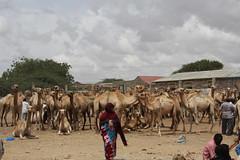 Camel Market (30)
