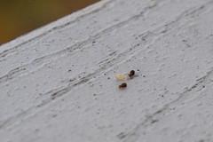 20121209 - Springtails on our Deck