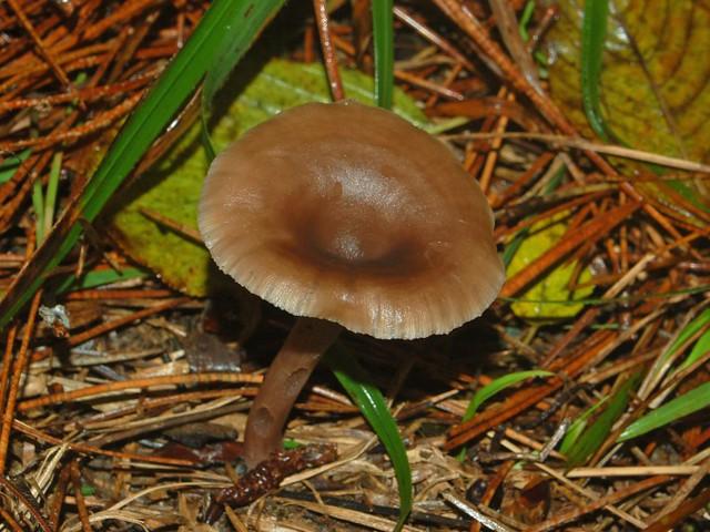 Header of Tricholomataceae