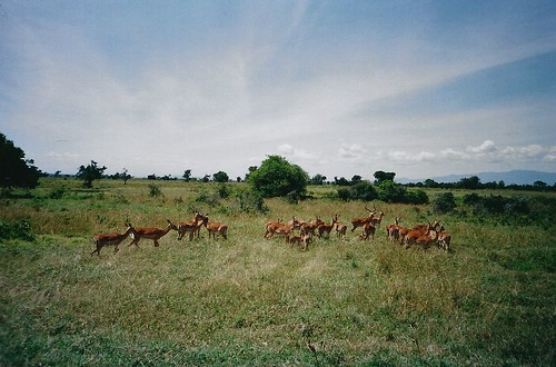 africa film grass animals nationalpark lomo lca lomography kenya scan safari impala lakenakurunationalpark hpc5380