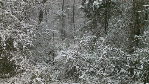 the woods are thick with snow