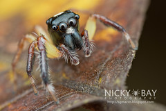 Jumping Spider (Salticidae) - DSC_2781