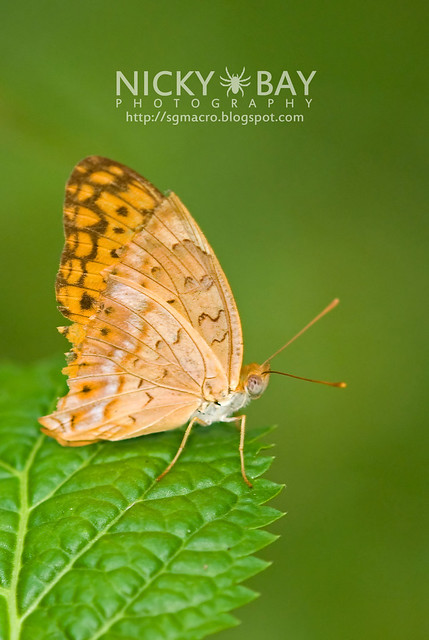 Leopard (Phalanta phalantha) - DSC_9373