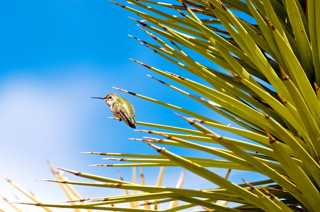 Hummingbird on Joshua Tree