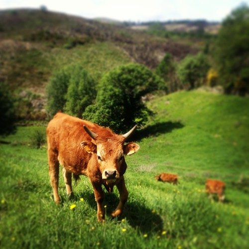 #organic#cow#geres #portugal #portugaldenorteasul #portugalnoteuolhar #igers_porto #igersportugal #december #2012 #instanaturelover #love #nature #peace #great