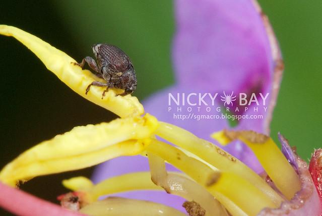 Weevil (Curculionidae) - DSC_6814
