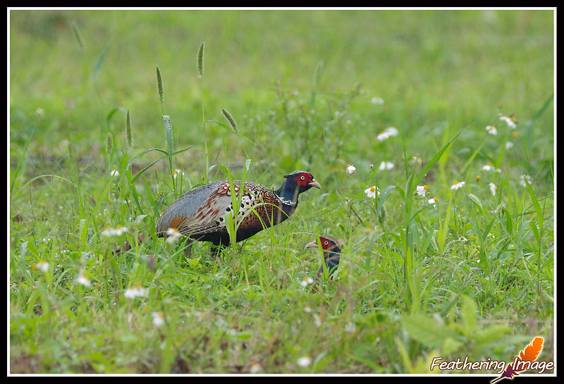 草原明珠 -- 環頸雉