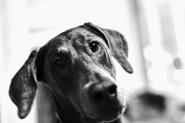 Portrait of my Doberman
