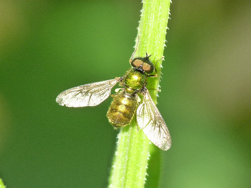 Broad Centurian Soldier Fly (Chloromia formosa) by Peter Orchard