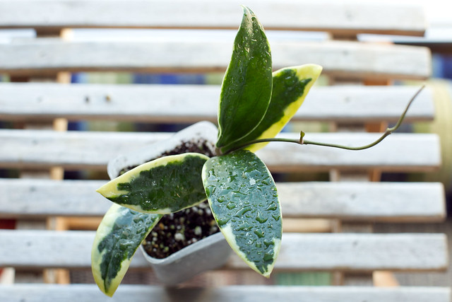 Hoya parasitica albomarginate