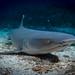 Whitetip reef shark (Triaenodon obesus) resting