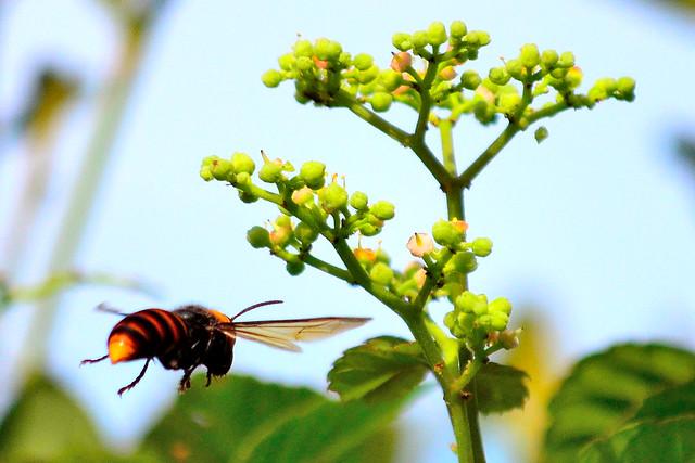 コガタスズメバチ (Hornet)