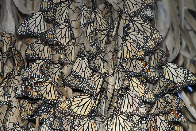 Where Have All Monarchs Gone >> A rabble of Monarch Butterflies.... 2 of 2 in set | Flickr - Photo Sharing!