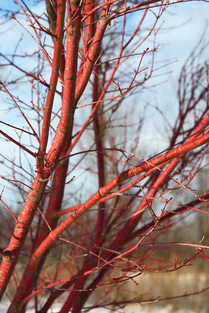 Red Tree Branches | Flickr - Photo Sharing!