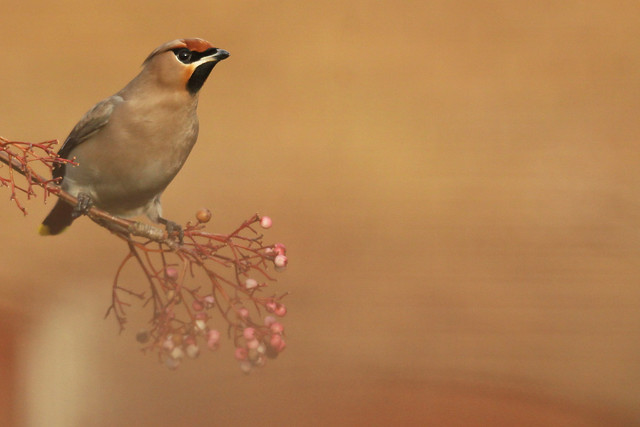 Waxwing- Getting There...