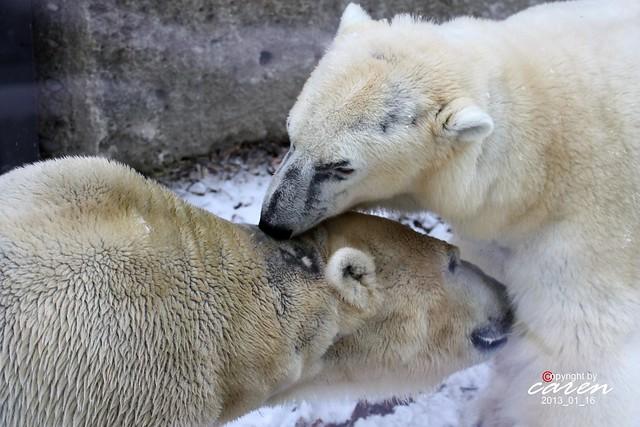 Eisbären Giovanna&Yoghi wieder zusammen 2013_01_16 568