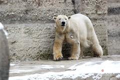 Eisbären Yoghi&Giovanna in Erwartung der Zusammenführung