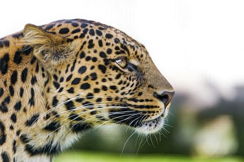 [フリー画像素材] 動物 (哺乳類), 豹・ヒョウ ID:201301271000