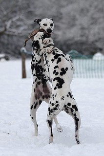 Dalmatians in snow