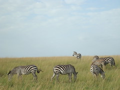 adventure(0.0), field(0.0), prairie(1.0), zebra(1.0), plain(1.0), mammal(1.0), herd(1.0), fauna(1.0), savanna(1.0), grassland(1.0), safari(1.0), wildlife(1.0),