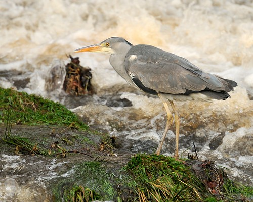 Heron Stalking by Andy Pritchard - Barrowford