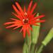 Mexican Catchfly by Matt Buckingham