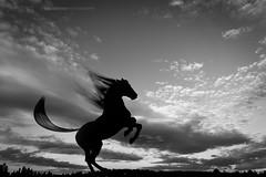 Silhouette 014 - Rearing Horse, Black & White
