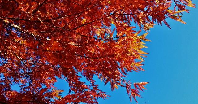 Fall Cypress Foliage
