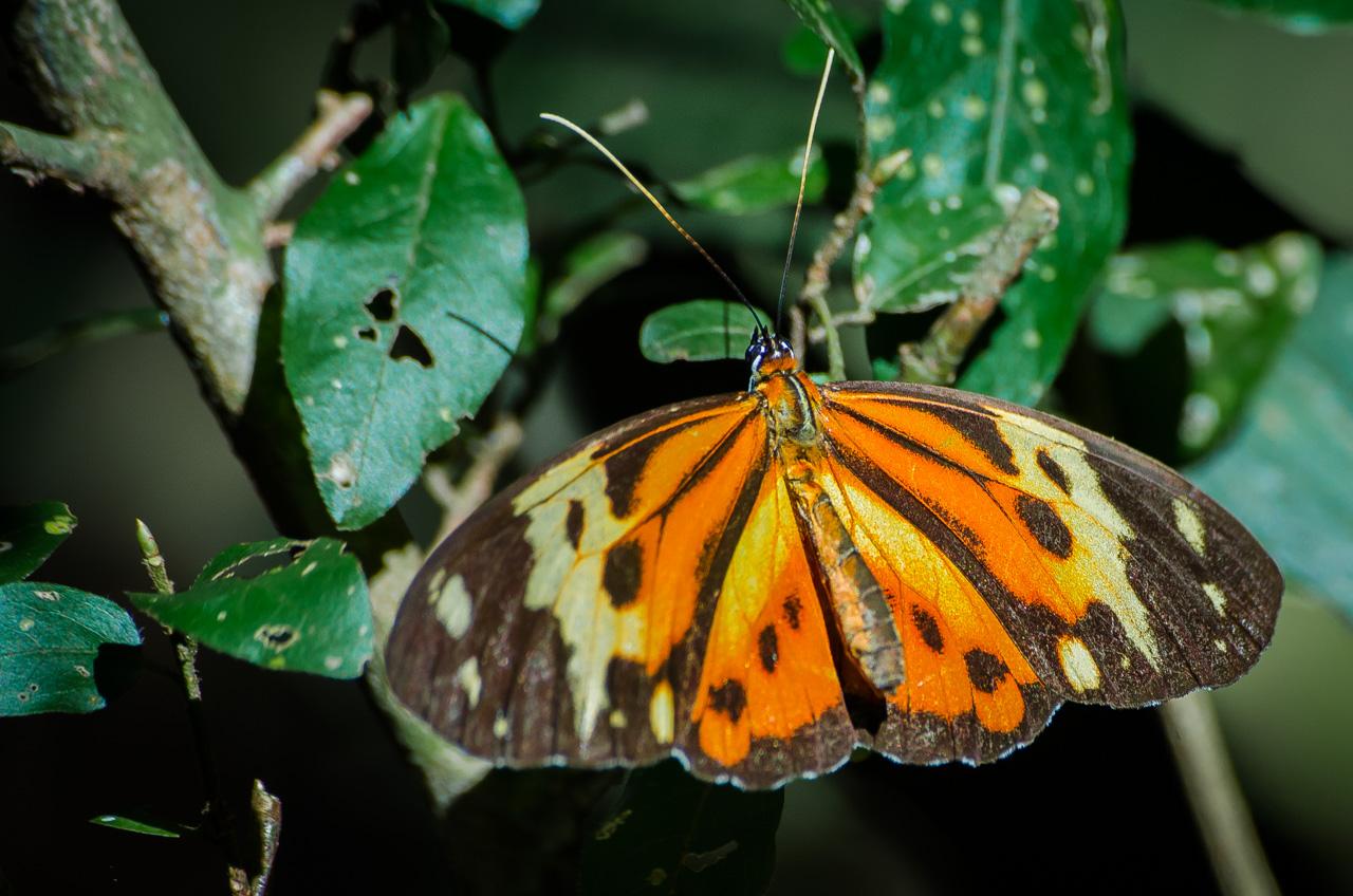Una especie de mariposa monarca del sur (Danaus erippus) se posa en las ramas del bosque de la Reserva Morombí, extendiendo sus alas. Tiene costumbres migratorias y últimamente es noticia en el mundo científico con respecto a su conservación y peligros de extinción. (Elton Núñez)