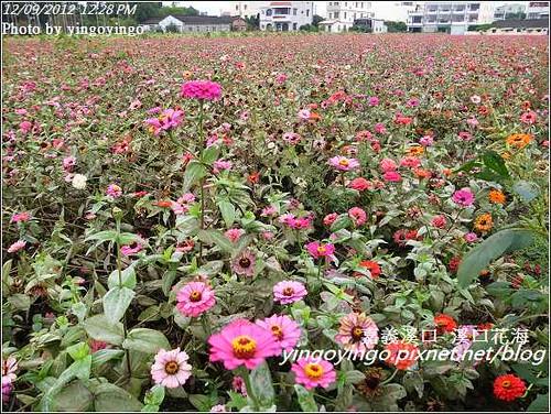 嘉義溪口_溪口花海20121209_R0010818
