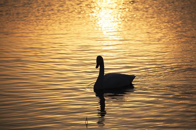 Golde swan