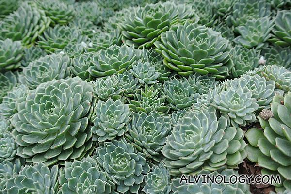 Beautiful lotus-shaped cactuses