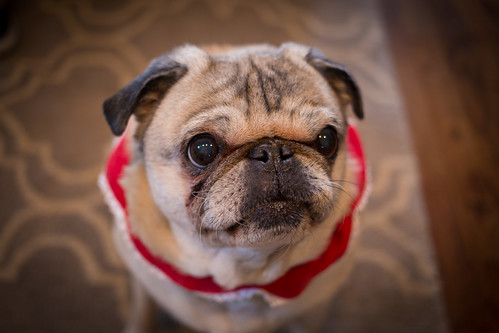 Mrs. Claus, Pug Edition by bump