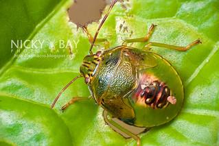 Stink Bug (Pentatomidae) - DSC_0484