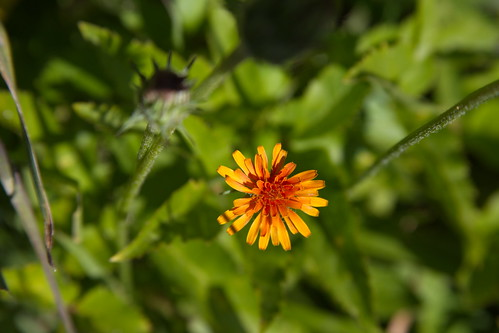 Orange agoseris by The Bacher Family