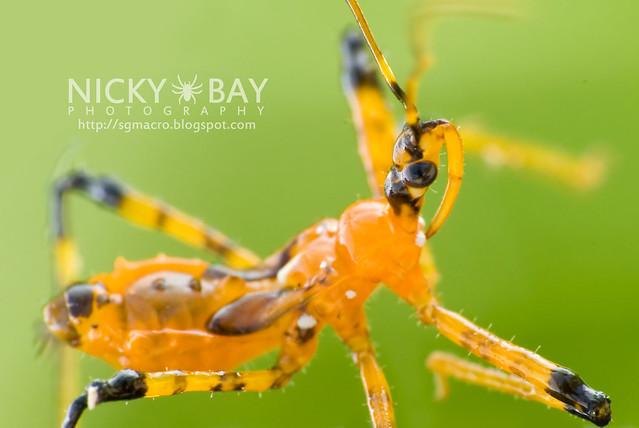 Assassin Bug (Reduviidae) - DSC_9710