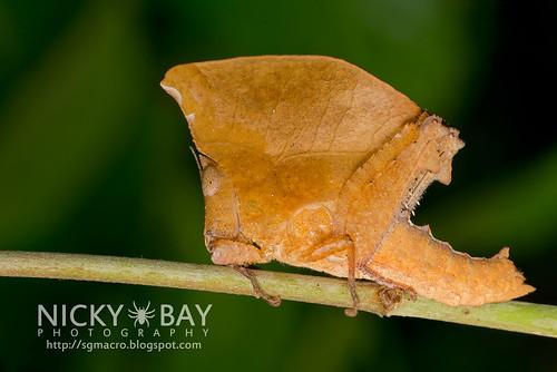 Leaf-Mimic Grasshopper (Caelifera) - DSC_2851