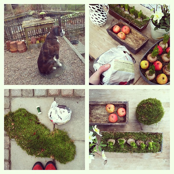 Jag gjorde en mossboll! #greenhouse #flowers #moss #apple #tiger #boxer